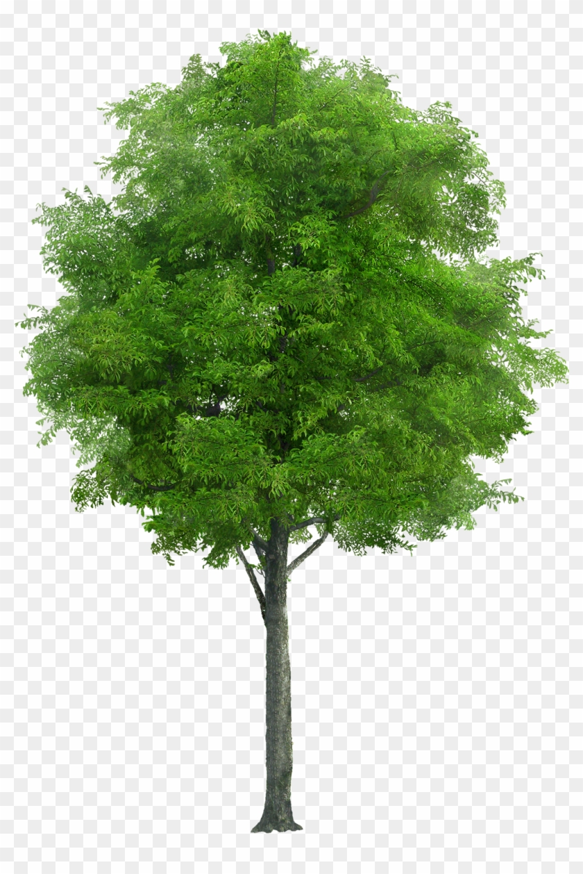 Laminated Poster Nature Trunk Png Wood Tree Forest Neem Tree Png