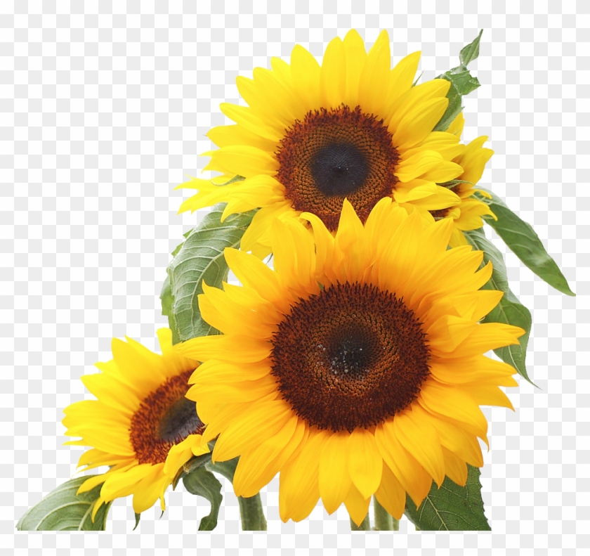 sunflower clip art images xur yellow flowers background hd hd png download 973x900 1034219 pngfind yellow flowers background hd hd png