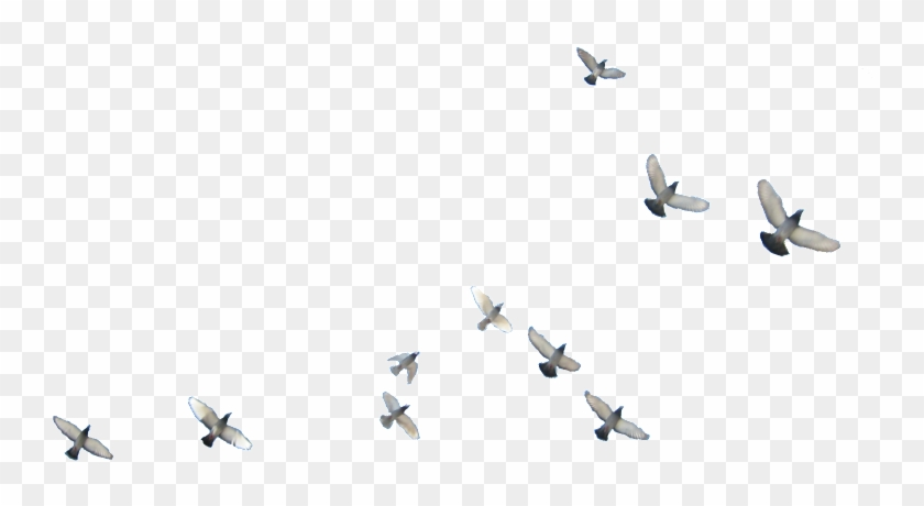 Birds Flying Bird Png, Transparent Png - 800x600(#1163753) - PngFind
