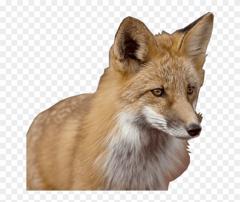 Download Fox Png Images Background Raposa Png Transparent Png