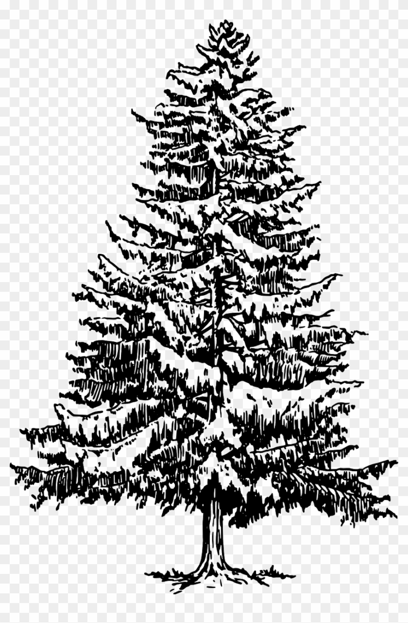 Fir Tree Drawing Pine Tree Black And White Hd Png Download
