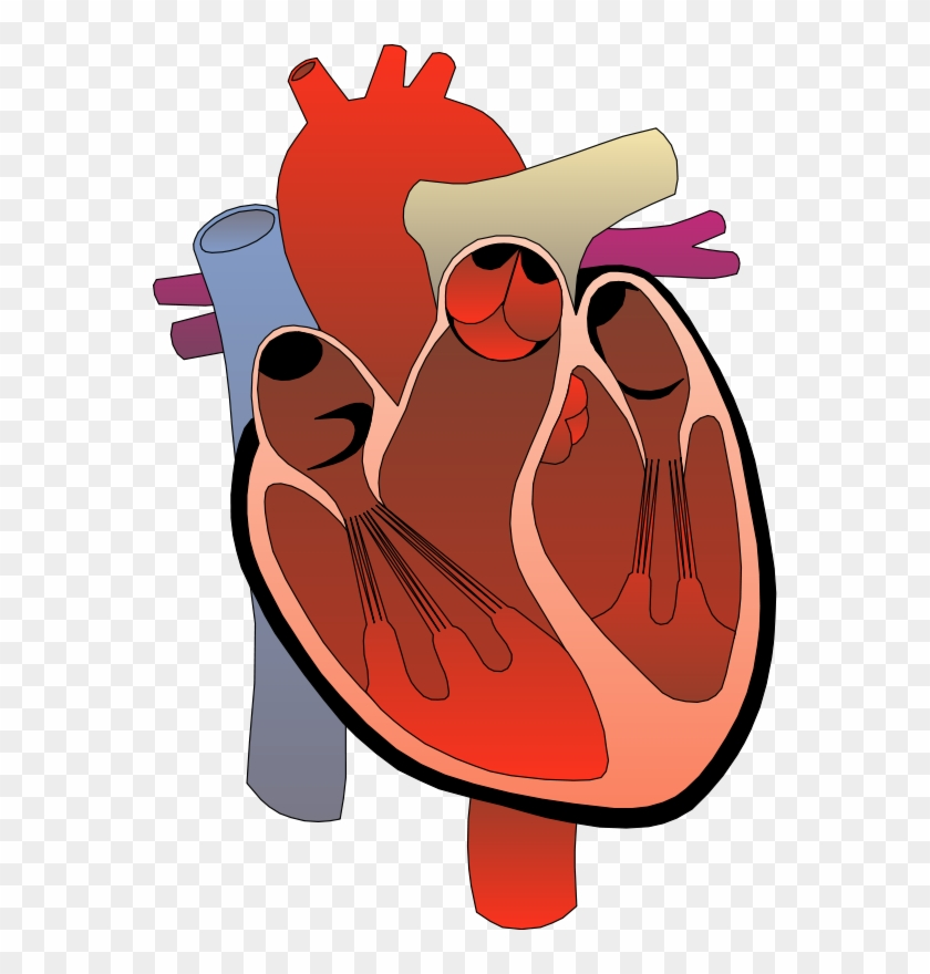 Realistic Heart Png Free - Heart Anatomy Clipart
