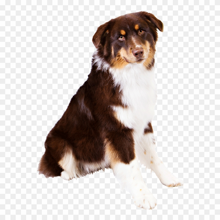 Image Free Library Dog Breed Information Famil Woof - Australian