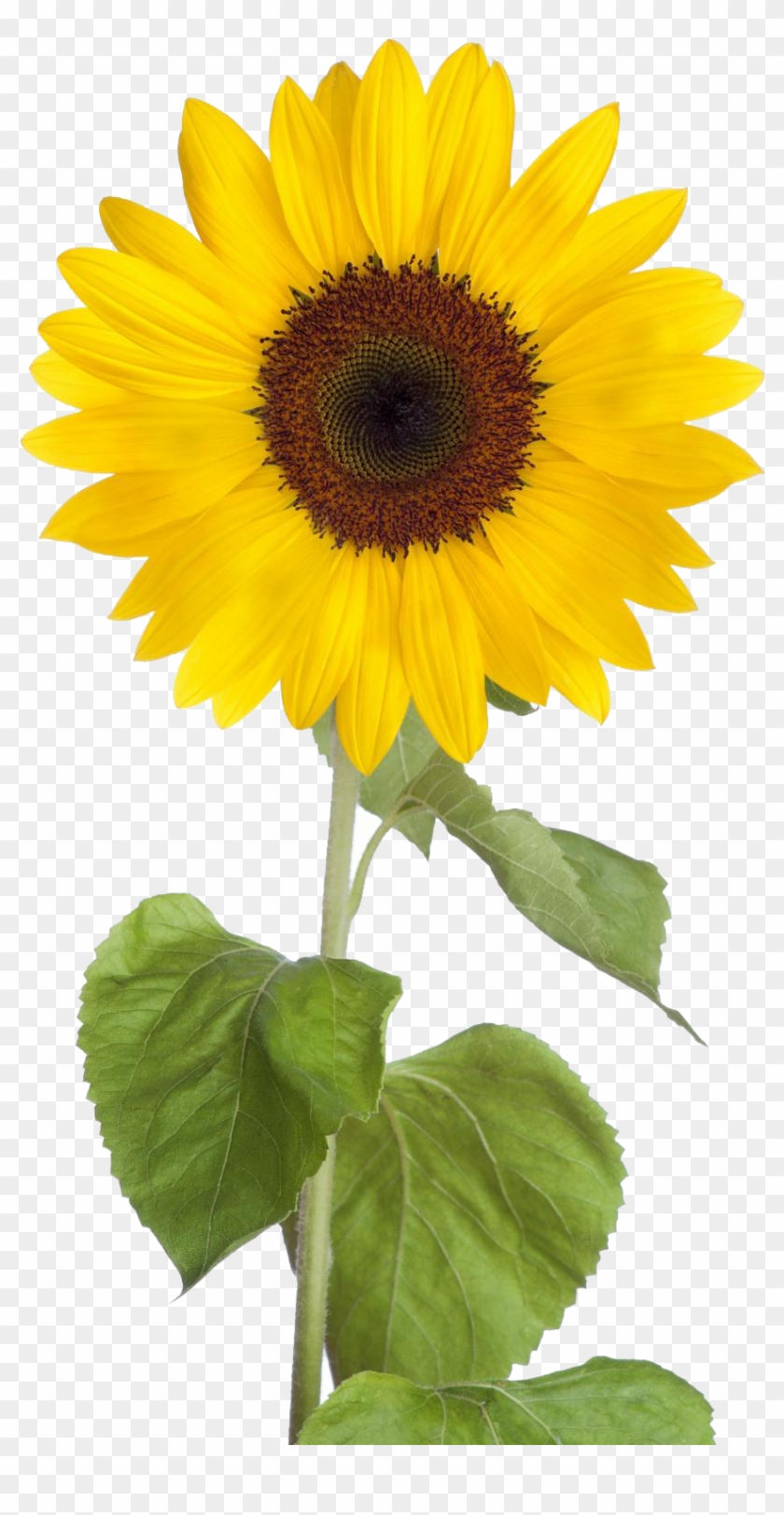 Sunflower clear background. Png free download transparent