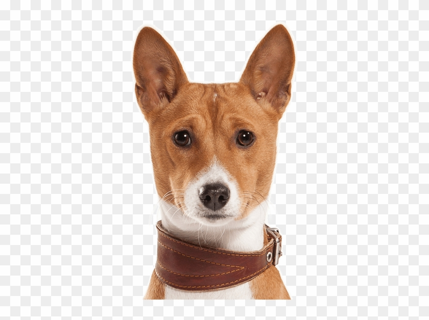 Basenji Puppies Dogs Search - Basenji Dogs For Sale, HD Png