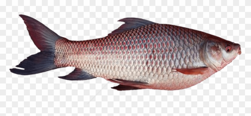 Free Png Download Ghol Fish Png Png Images Background Rohu Fish Tamil Name Transparent Png 850x638 1835546 Pngfind