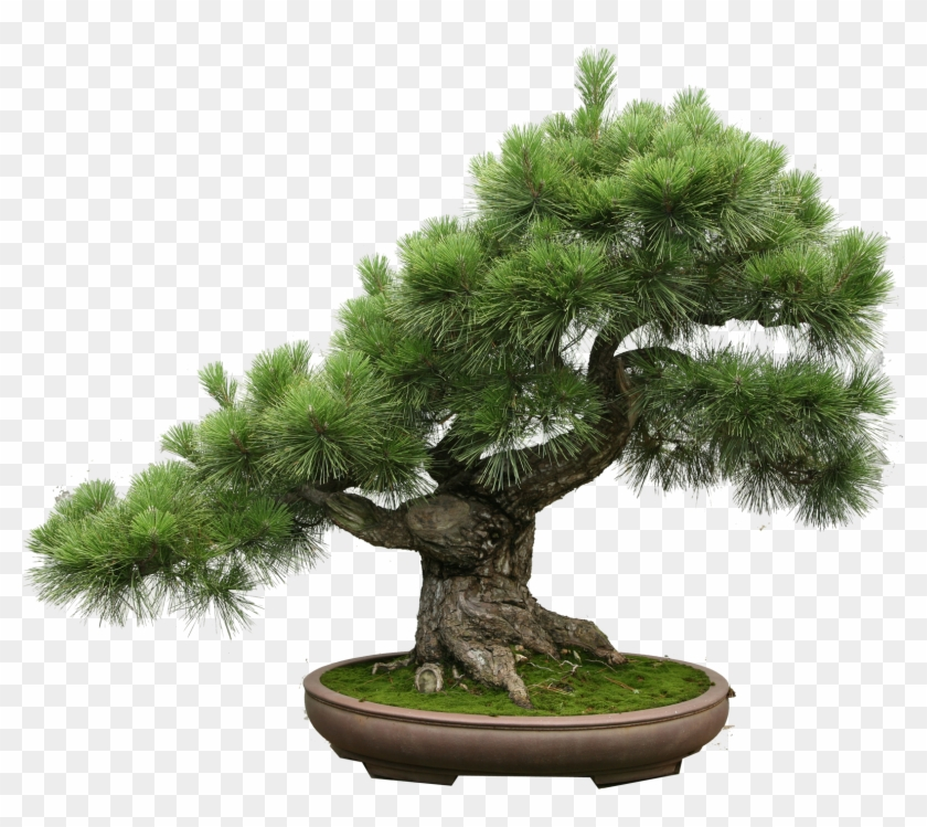 The Art Of Creating A Bonsai Tree Bonsais Png Transparent Png 1579x1333 1892466 Pngfind