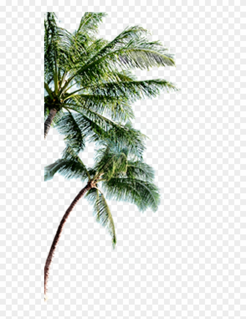 Bahamas Clipart Palm Tree Palmeras Png Para Photoshop Transparent