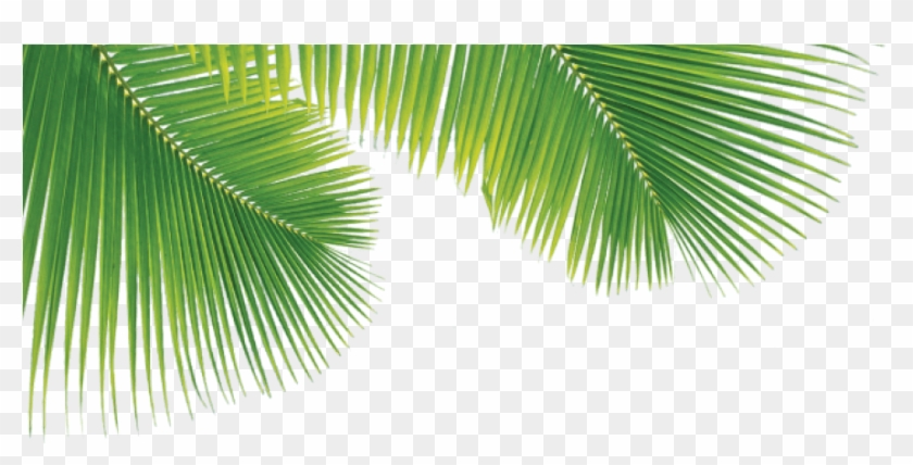 Png Palm Trees Leaves Png Download Palm Tree Leaves Pngs Transparent Png 882x408 28223 Pngfind
