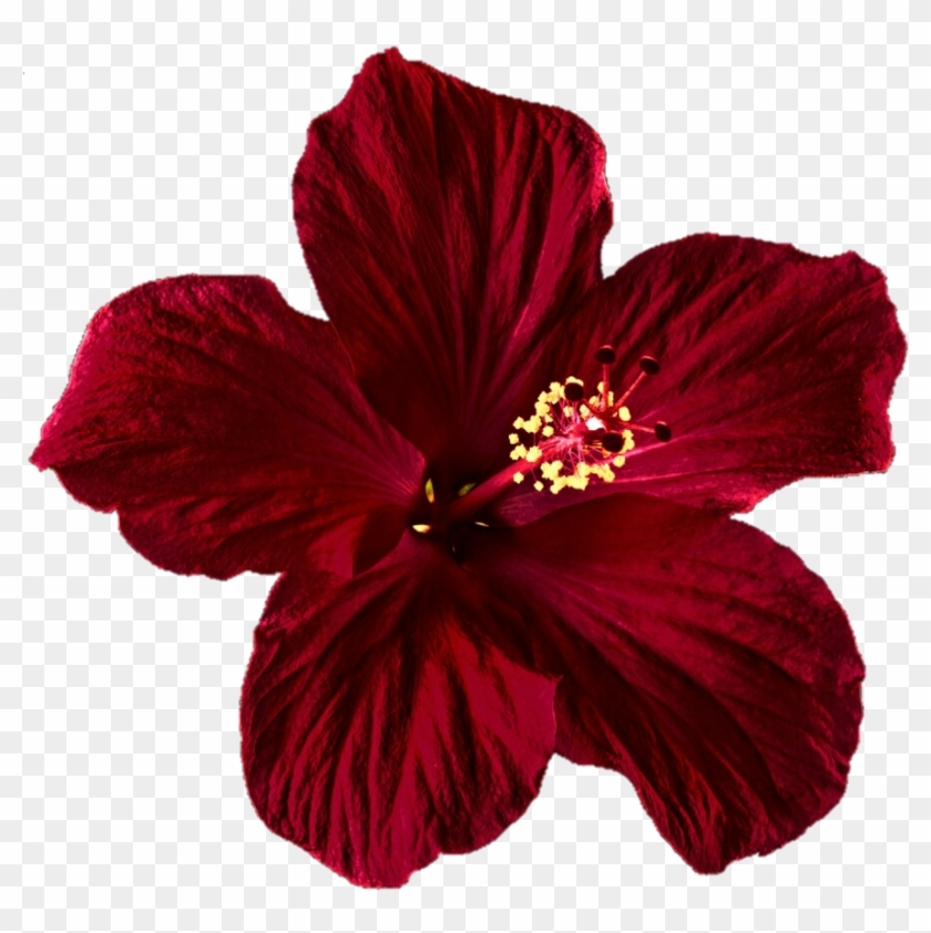 Hibiscus Clipart Png Tumblr Mexican Flower Transparent Png
