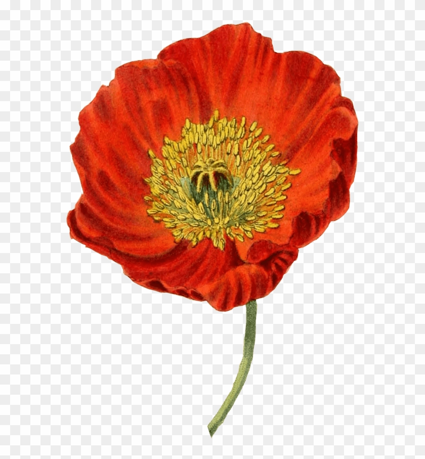 Svg Royalty Free Download Red Transparent Png Stickpng Poppy