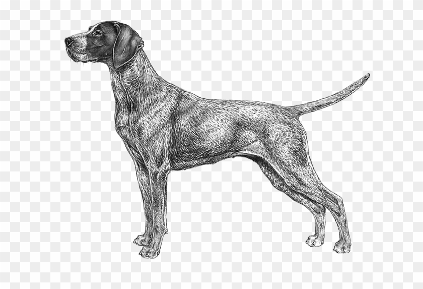 German Shorthaired Pointer Cane Da Caccia Disegno Hd Png Download