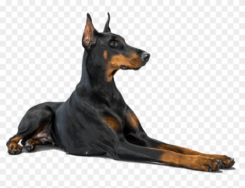 Doberman Dog Png Transparent Png 1170x780 2483089 Pngfind