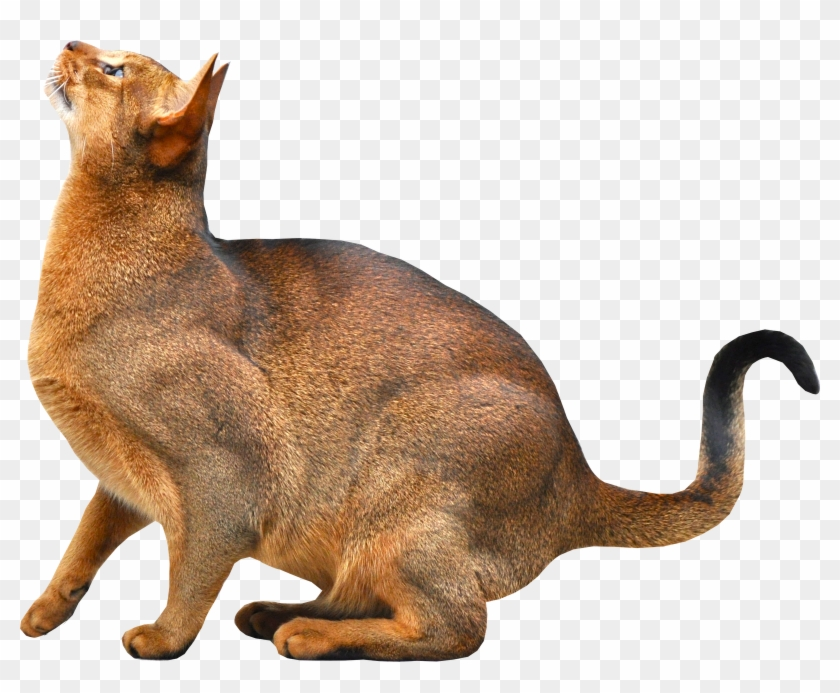 Abyssinian Cat , Transparent Background Cat Png, Png
