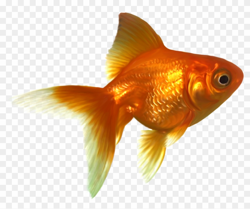 Goldfish Png Free Images Gold Fish Transparent Png 1165x972 2523144 Pngfind
