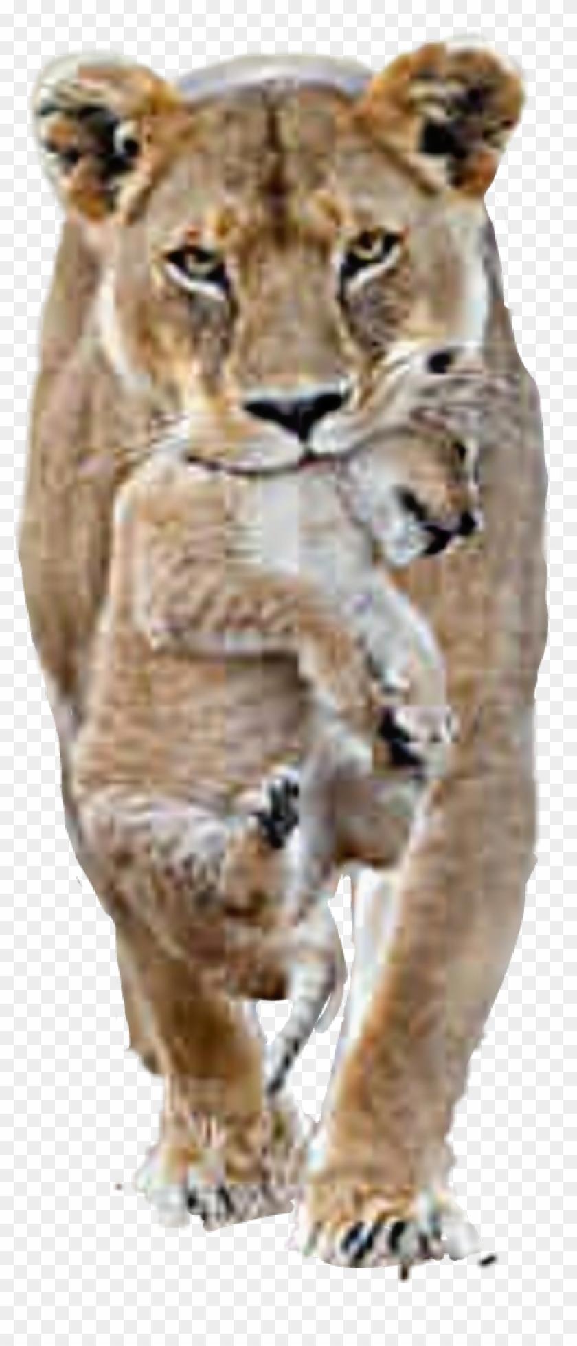 lion #lioness #cub - Female Lion Male Lion, HD Png Download