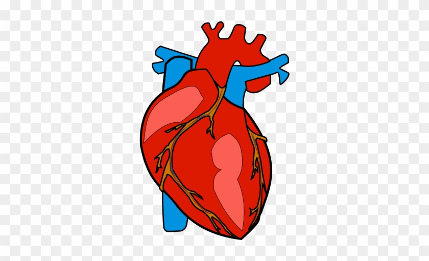 Body organs. Human heart anatomy organ