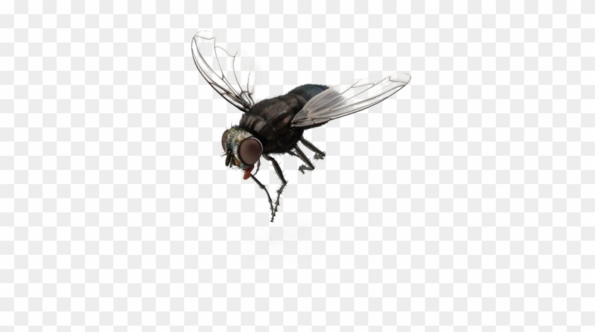 Fly Png Transparent File - House Fly, Png Download - 600x600