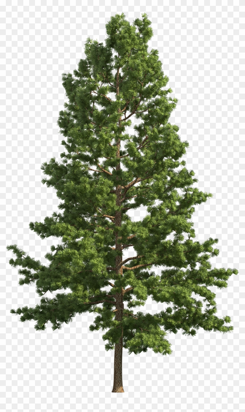 Pine tree realistic. Png clip art free