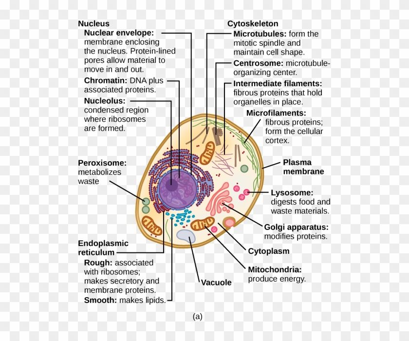 Eukaryotic Cells - Structure Of A Typical Eukaryotic Cell ...