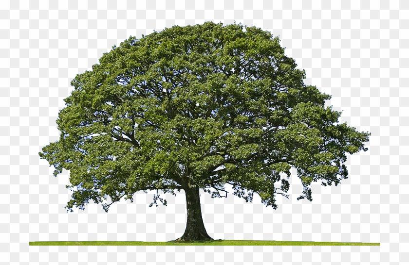 aerial tree png aerial view of oak tree , png download - oak tree