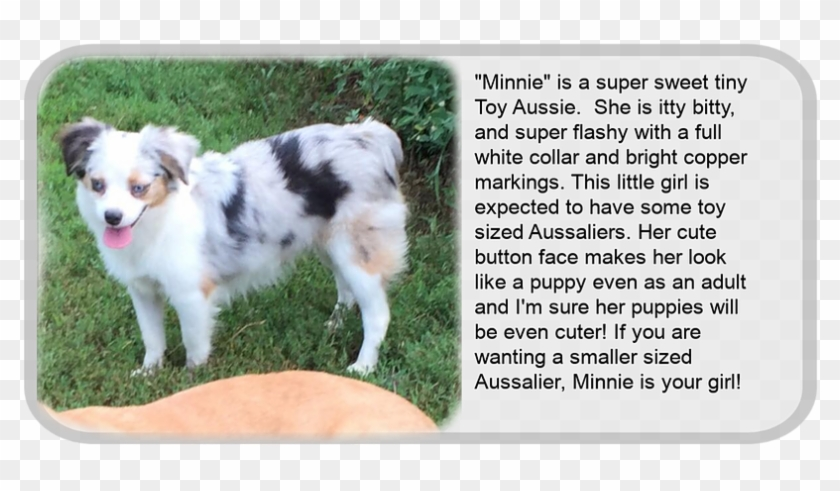 Minnie - Miniature Australian Shepherd, HD Png Download