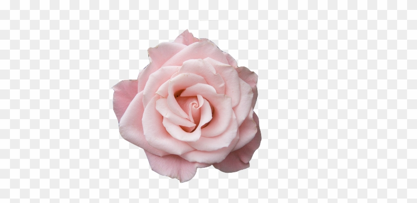 Rose aesthetic PNG Transparent Image.