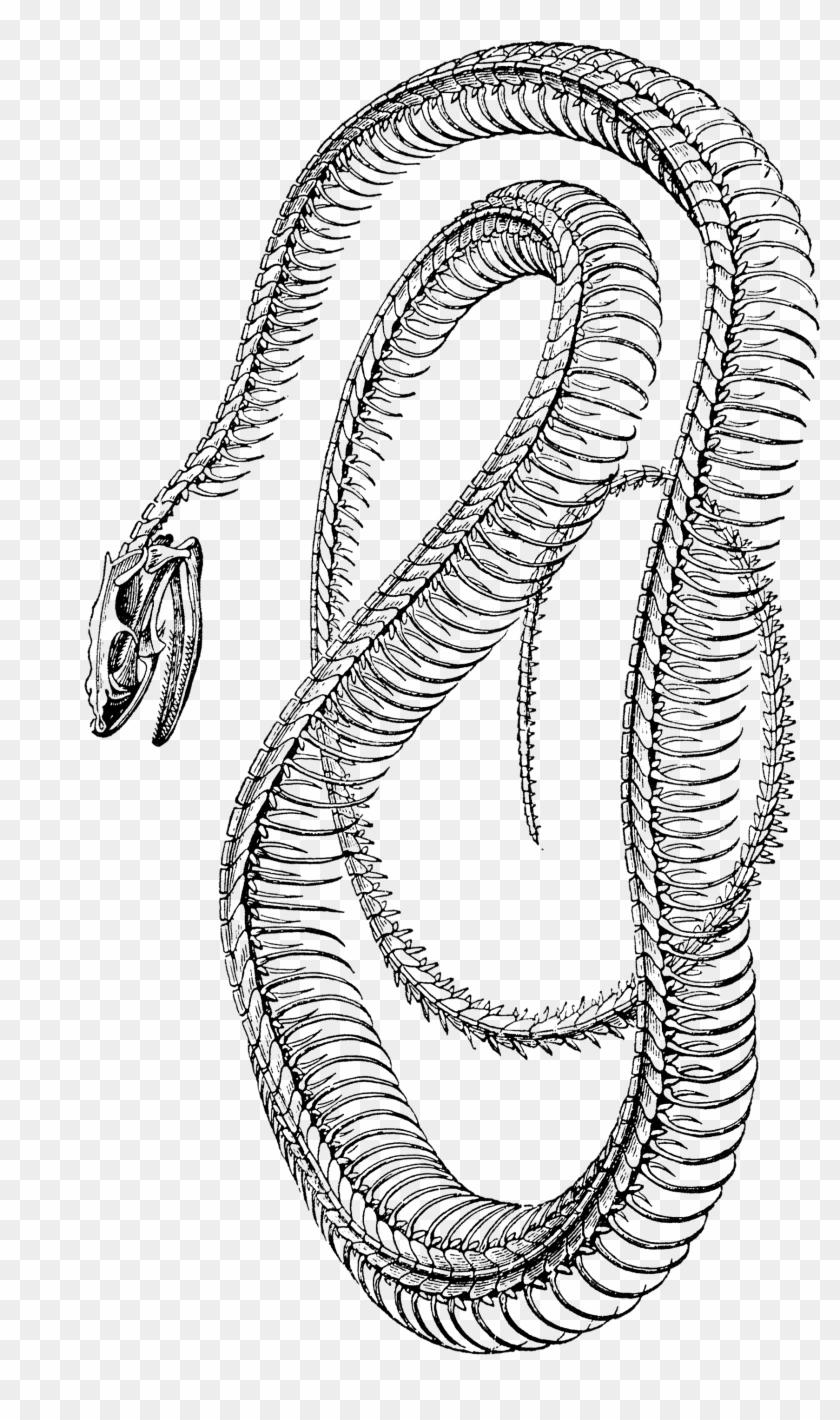 Free Vintage Clip Art - Skelet Van Een Slang, HD Png