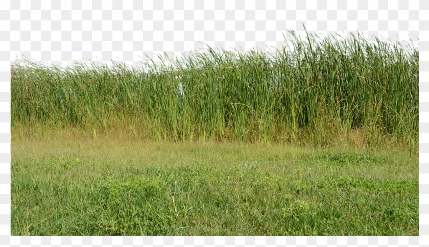 Grass, Grass No Background, Nature, Green, Plant - Nature Png Image