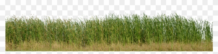 Grass, Grass No Background, Nature, Green, Plant - Grass, HD