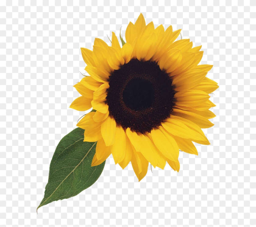 Sunflower clear background. Free clipart png transparent