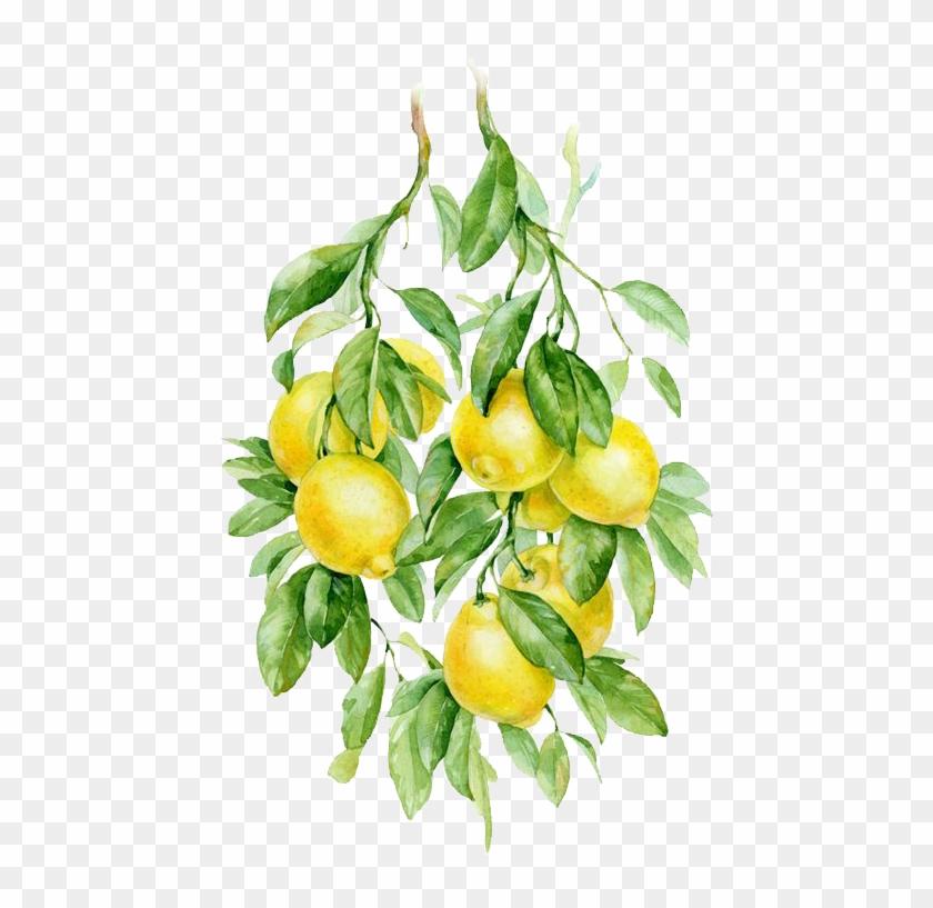 Lemon Transparent Png Image Lemon Clipart Lemon Watercolor Png Png Download 564x789 4200001 Pngfind Download transparent lemon png for free on pngkey.com. lemon transparent png image lemon
