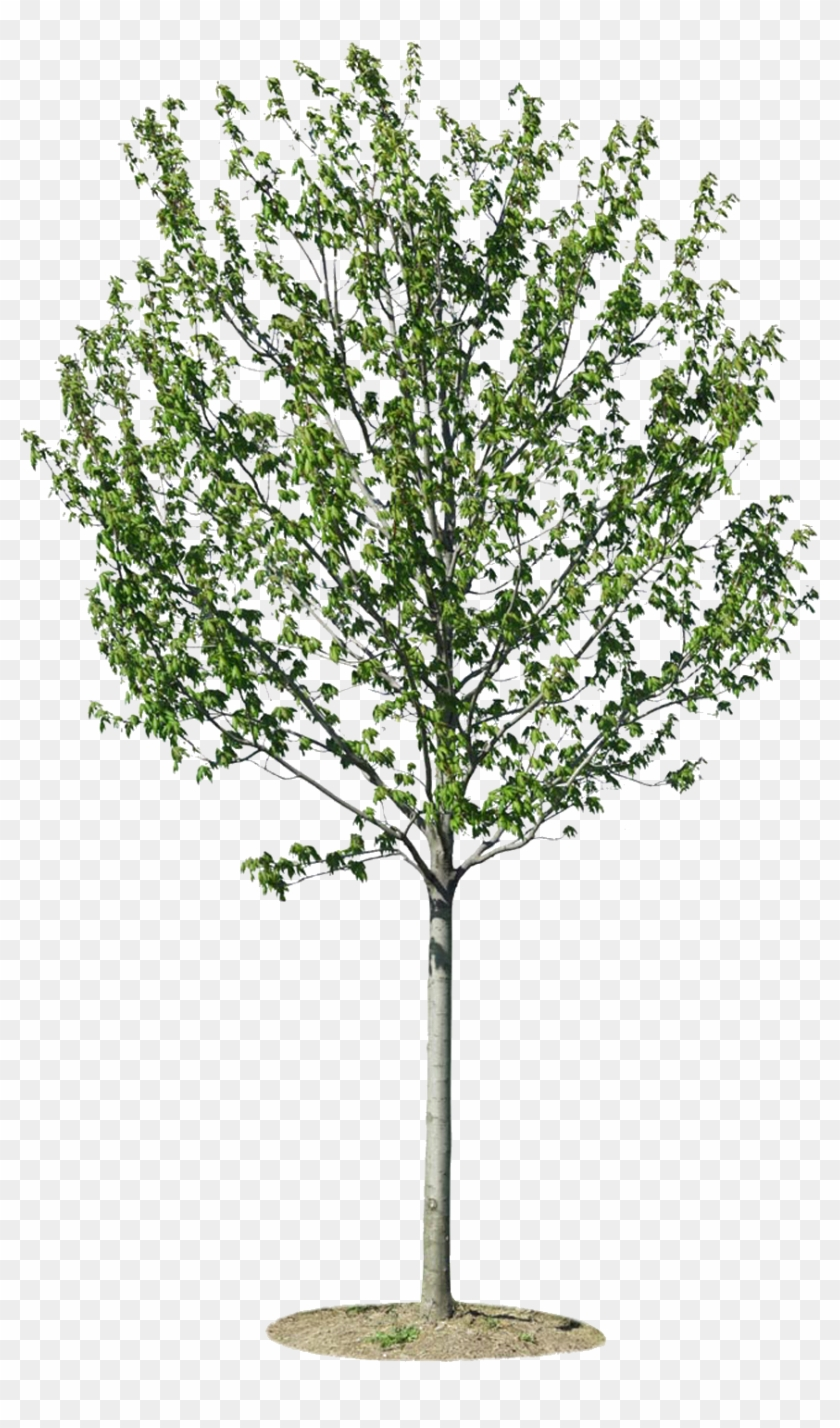 Png Arbres Trees For Architectural Rendering Transparent Png