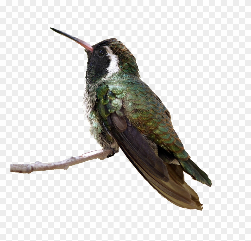 Flying Birds Png - Anna's Hummingbird Png, Transparent Png