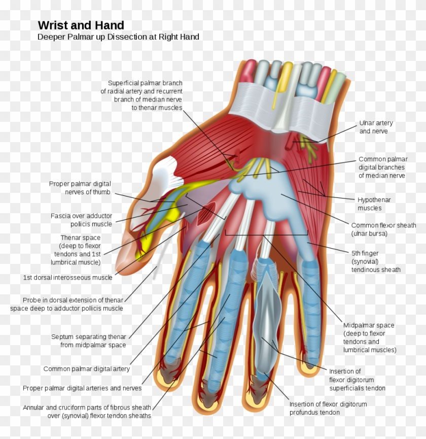 Nerves And Muscles In The Hand - Wrist And Hand, HD Png