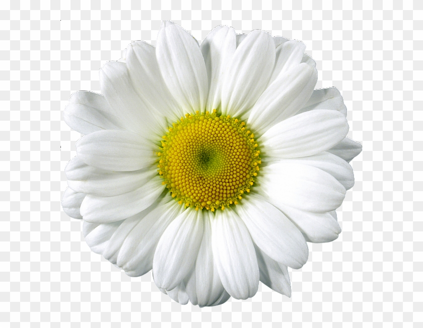 Free Clip Art - White Gerber Daisy Png, Transparent Png