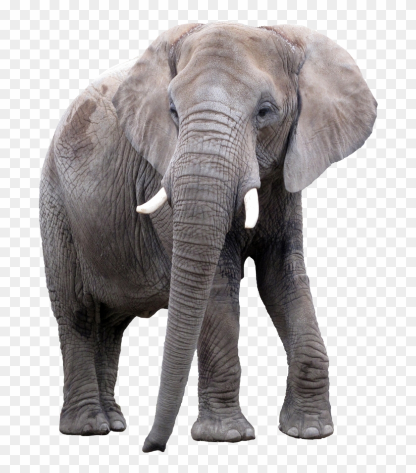 Gray Elephant Png / Best free png gray elephant standing , hd gray elephant standing png images, animals png png file easily with one thank you for downloading.