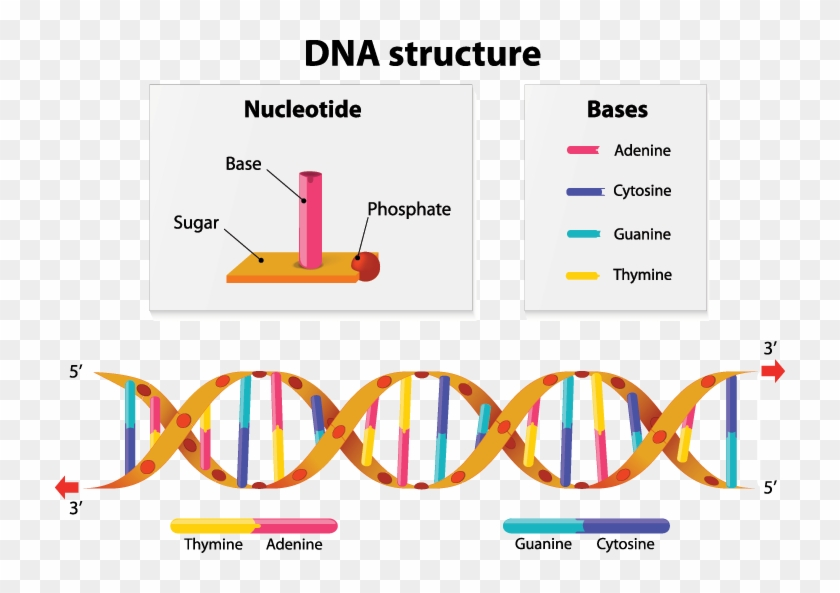 a diagram showing the structure of dna - nucleotide base dna structure, hd  png download