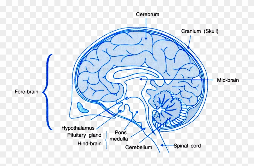 Draw A Labelled Diagram Of A Section Of Human Brain Human Brain Class 10 Hd Png Download 740x468 6584070 Pngfind