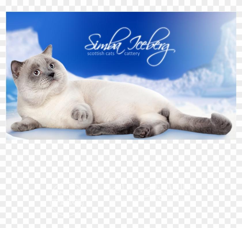 Cattery Simba Iceberg , Png Download - British Shorthair