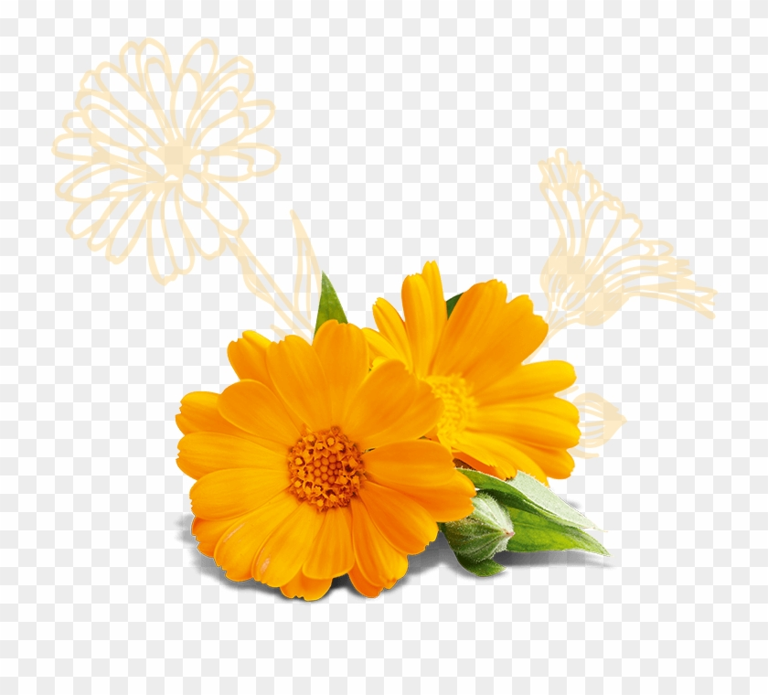 Glyceryl Stearate, Calendula Officinalis Flower Extract