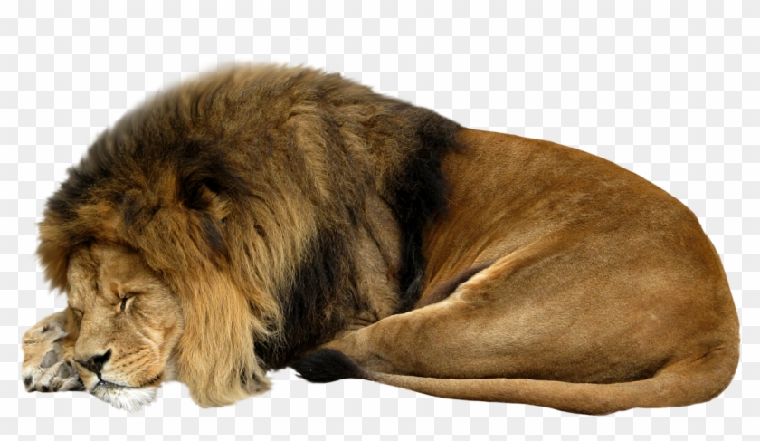 Lion sleeping. Png transparent x pngfind