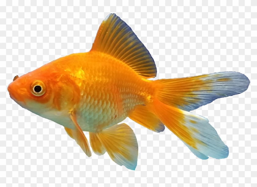 Goldfish Background Png Goldfish Fish Png Transparent Png 2213x1449 968980 Pngfind